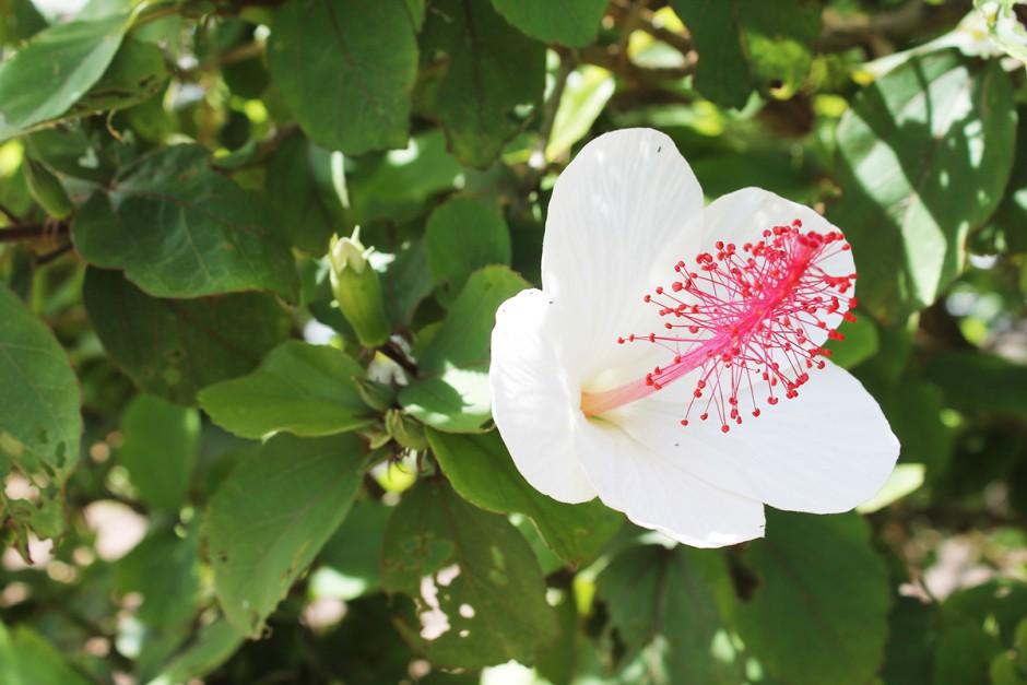 www.wildandfit.net-kauai-waimea-canyon-hibiscus-6